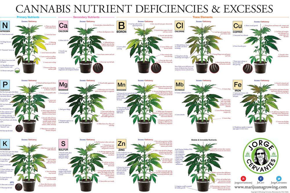 Feuilles-de-cannabis-Carences-et-exces-alimentaires.thumb.jpg.bc217f966cd28126fa438d35a0d46b77.jpg