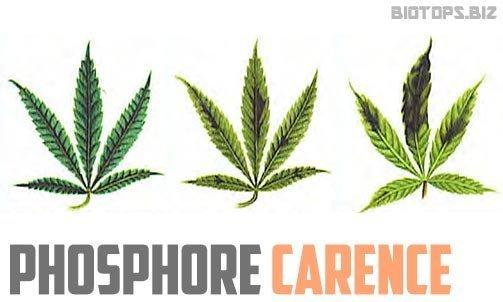 phosphore-carence-cannabis.jpg.95316d3ec3123b90e97d64de3857b996.jpg