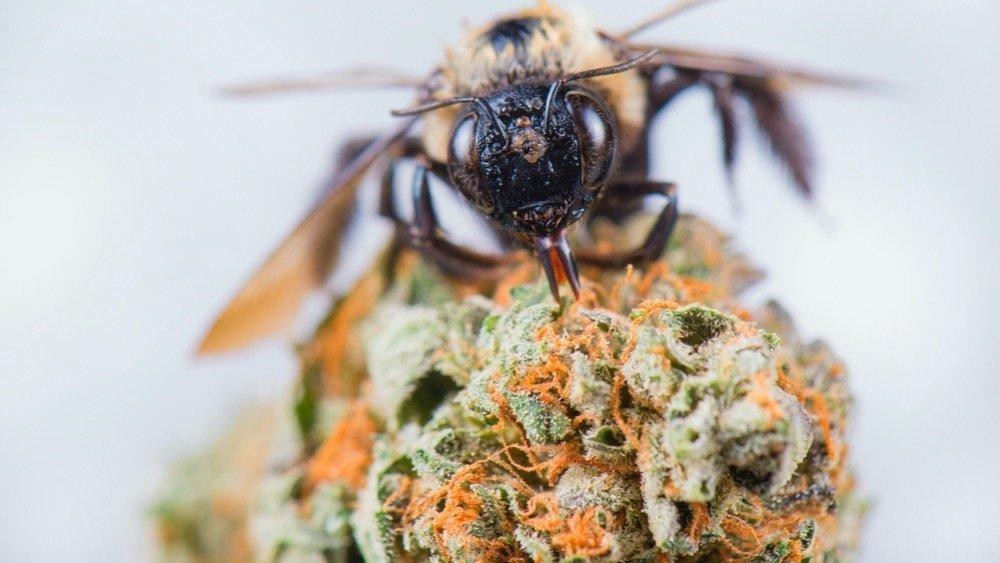 Les abeilles raffolent de cannabis et cela pourrait les sauver