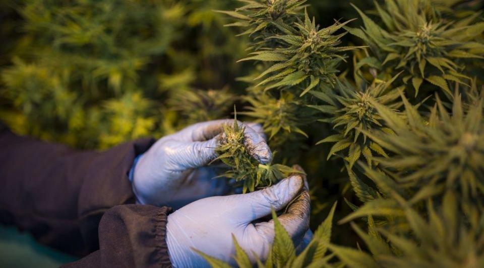 La perspective d'une libéralisation du cannabis déchaîne la spéculation financière sur des multinationales qui lorgnent sur ce marché