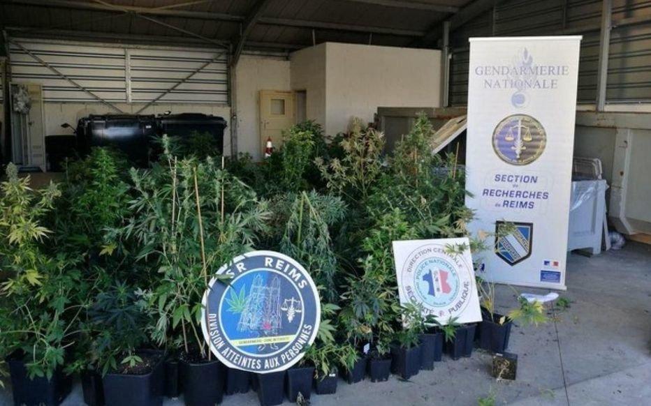 Près de 120 cultivateurs de cannabis stoppés par les gendarmes