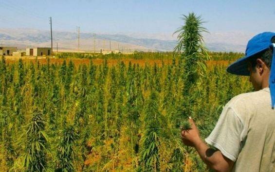 Maroc - Adapter la culture du kif à l'environnement, défi pour un nouveau modèle de développement