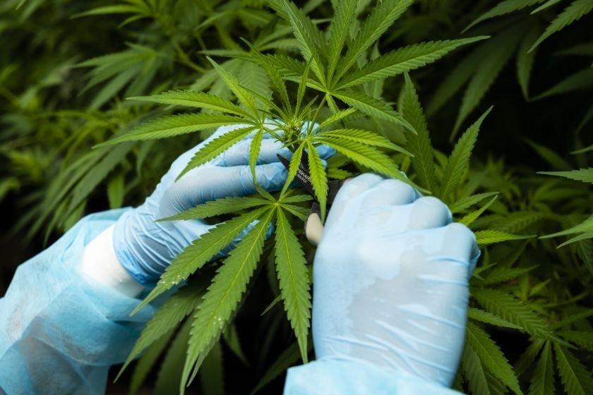 L'Argentine autorise la vente de cannabis dans les pharmacies et la culture à domicile