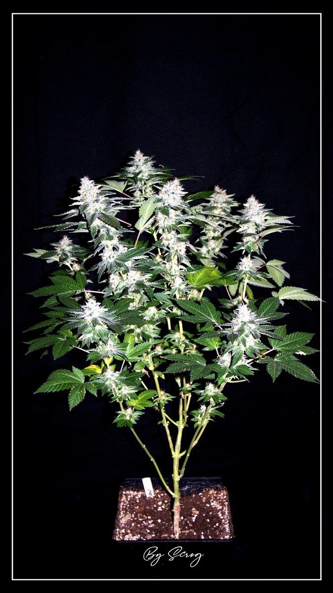 F+46 White-Widow#3.jpg