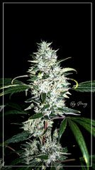 FLO+59 Spyrock hashplant bud.jpg