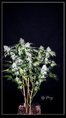 FLO+59 White-widow#3 .JPG