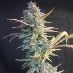 Cookie puss / 11.30/12.30 +75