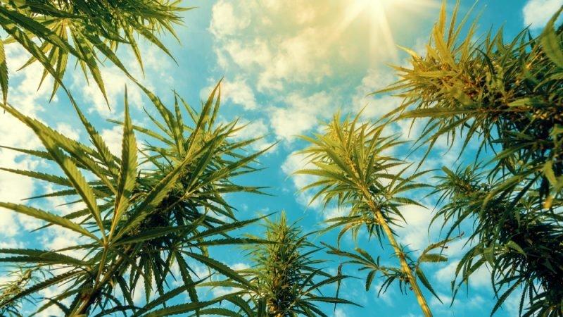 Le marché européen du cannabis médical fait buisson creux