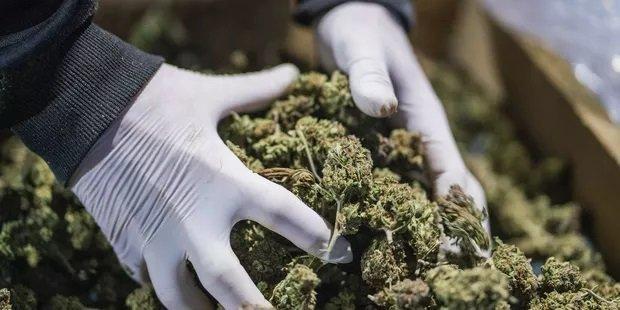 Pourquoi le cannabis médical prend du retard