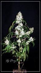 F+77 Spyrock hashplant .JPG