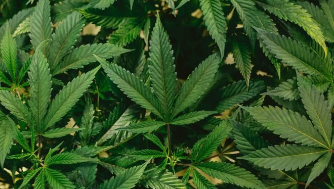 Cannabis : en finir avec 50 ans d'hypocrisie