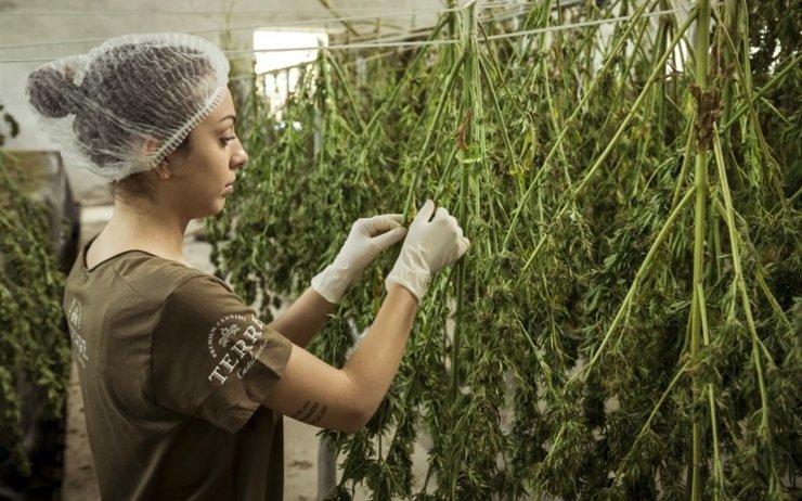Nouvelle-Zélande : 1 milliard de dollars par an grâce au cannabis ?