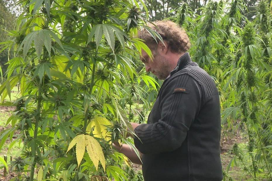Creuse : une récolte de cannabis CBD pour faire évoluer la législation