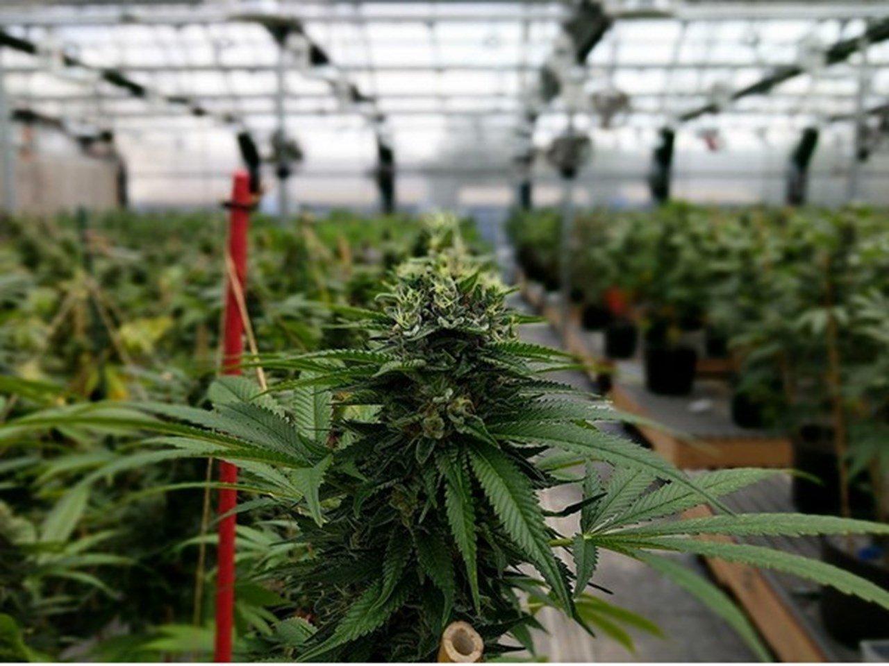 Le Rwanda veut tirer profit de la production de cannabis à usage thérapeutique