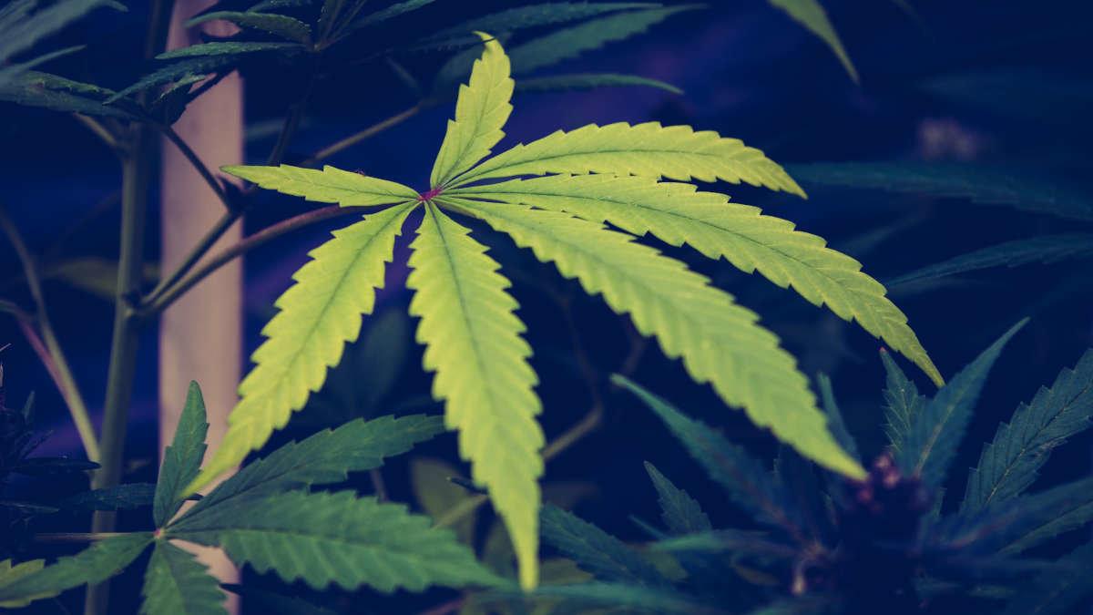 Covid-19 : Le cannabis pourrait avoir des effets bénéfiques sur les poumons