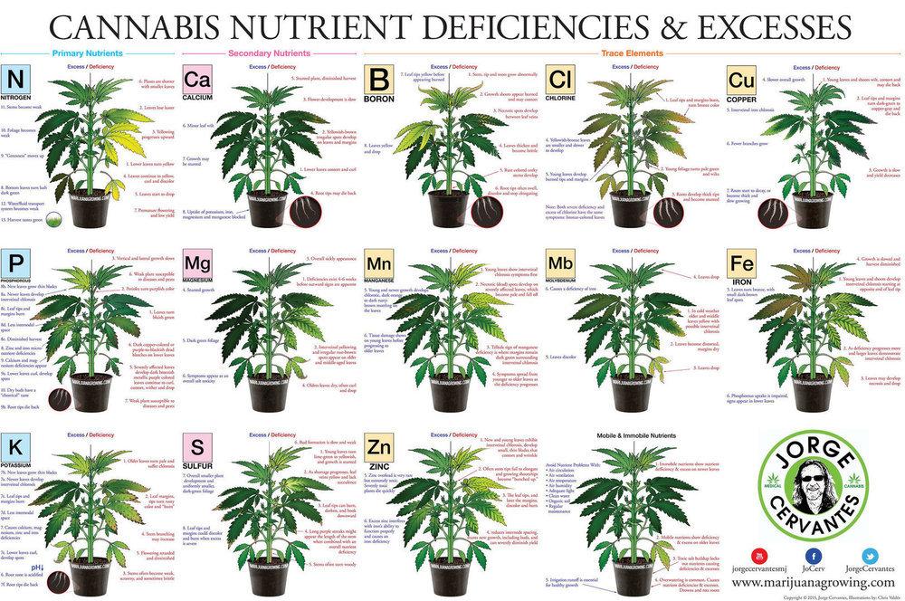 Feuilles-de-cannabis-Carences-et-exces-alimentaires.jpg.d79b5414e448a71a42302353a0360aae.thumb.jpg.8718be2e0aa6458676d68acf9ea50209.jpg