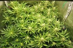 Fast Flowering Green Crack de HSO
