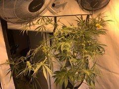 lavender x TBB 3# 13 Folioles