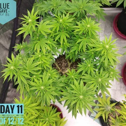 3294339_compound-genetics-blue-agave-grow-journal-by-gardenofherbscustomcompound-genetics---blue-agave_m.jpg