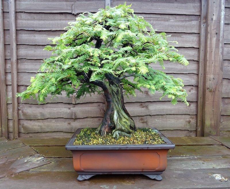 bonsai-dawn-redwood.jpeg.9c39c1642819d7cdb2c5ce1bd2af2088.jpeg