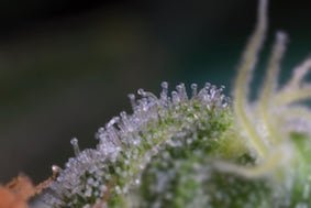 large.What_are_Cannabis_Trichomes.jpg