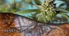 Une Colonnie de Fungi