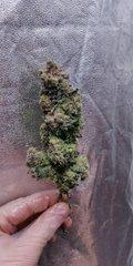 Green Poison pheno #2 plante n°3