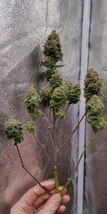 Green Poison pheno #2 plante n°2