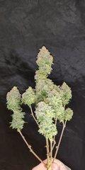 Green Poison pheno #2 plante n°1