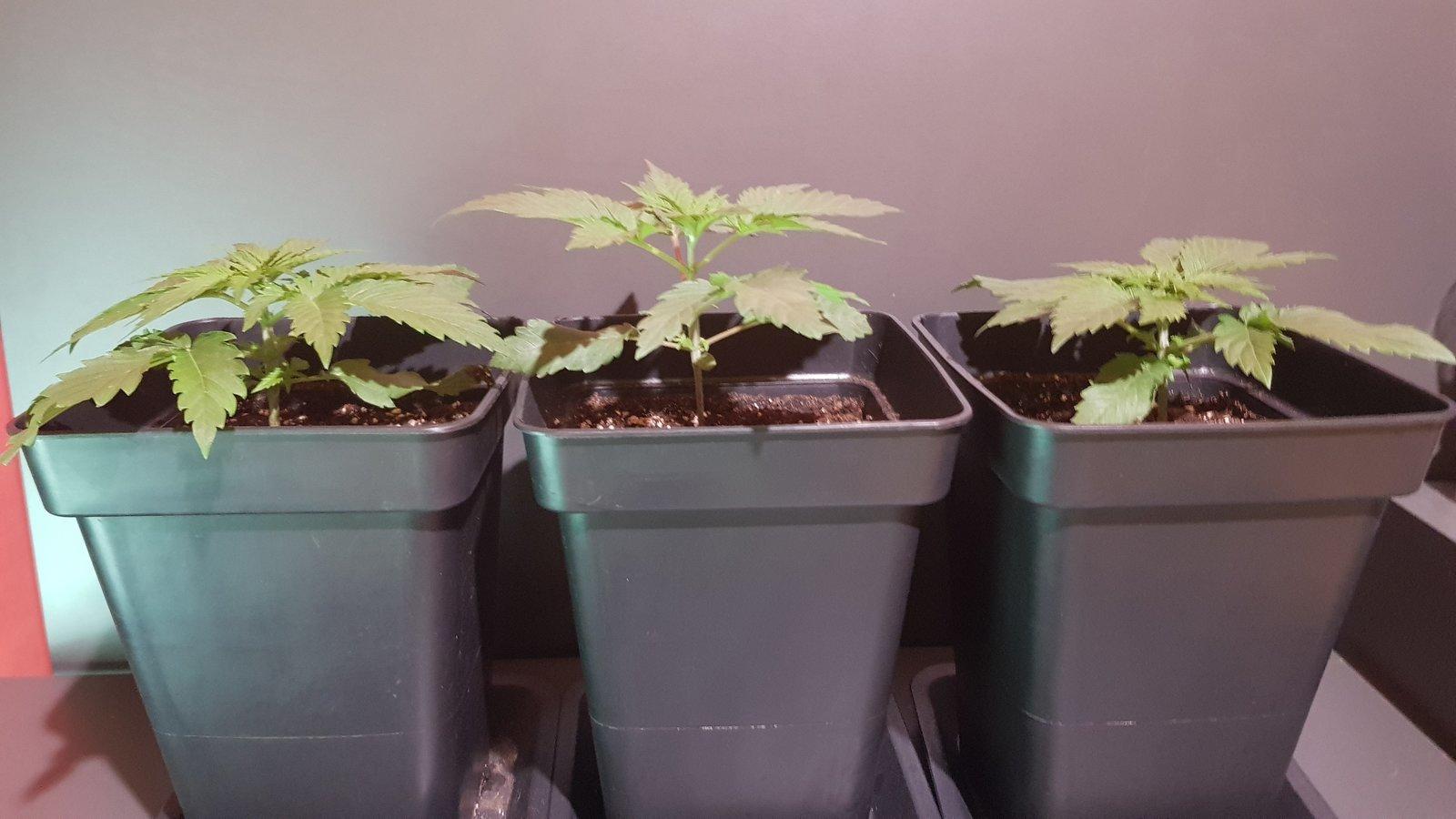 3eme grow parallèle arrache