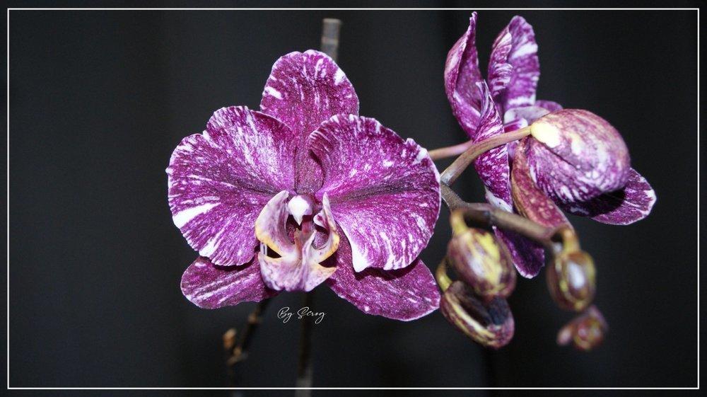 1906193892_Orchide1FleureJuin2021.thumb.jpg.a989bceda89d7a50c0063eca56e7fe63.jpg