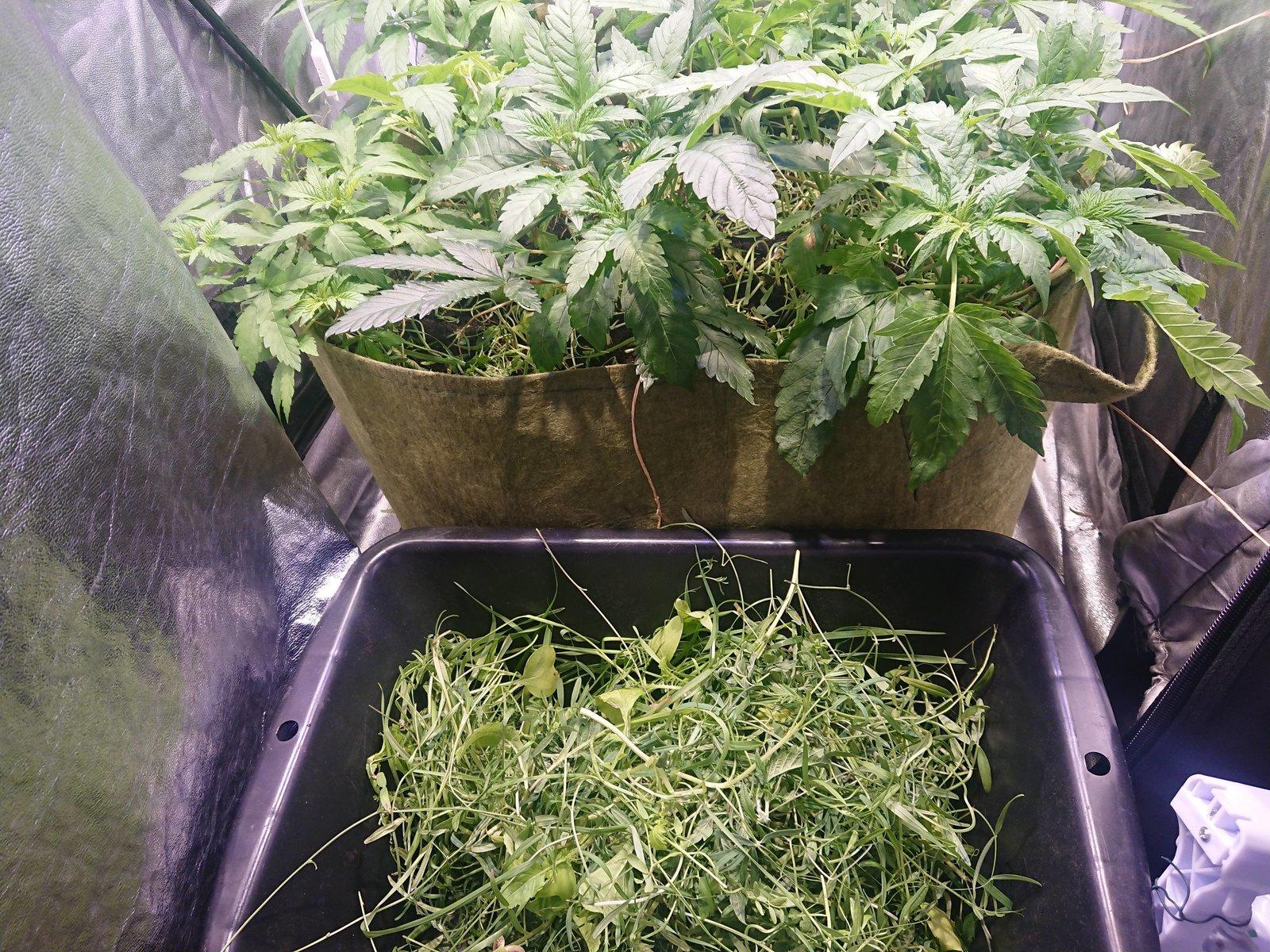 Taille des engrais verts + paillage (jour 16)