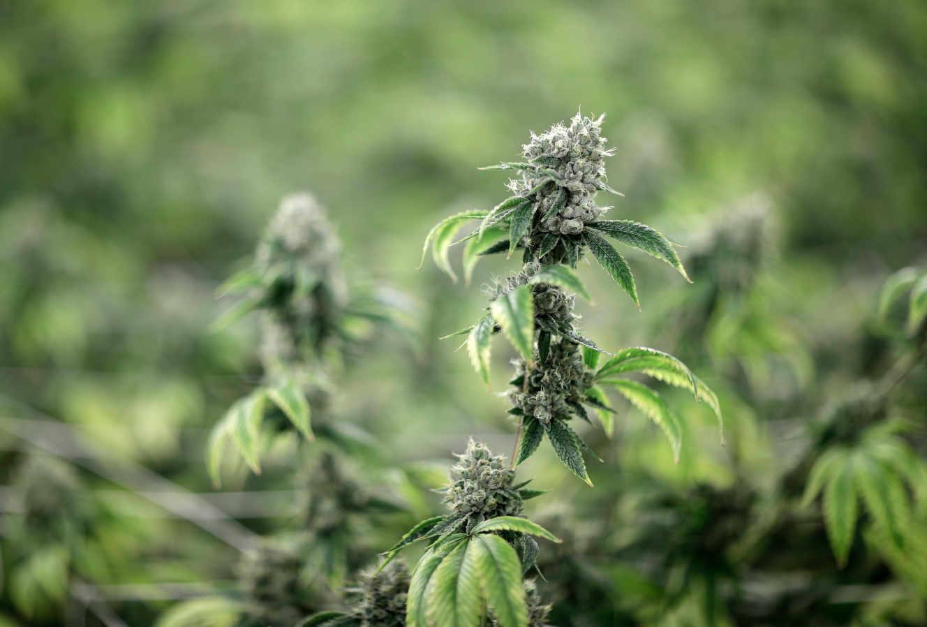 Interrogés lors d'une consultation citoyenne, les Français se disent partisans d'une légalisation du cannabis récréatif