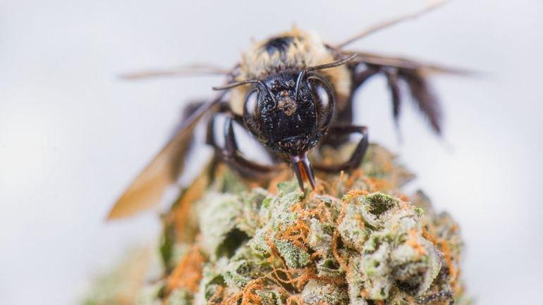Les abeilles sont attirées par les plants de cannabis mais pas pour planer plus haut