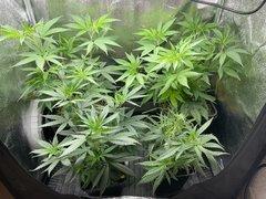 Plantes mères