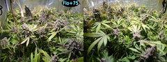 Flo+75