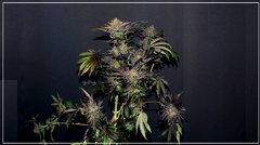 FLO+77 Miss Orange Nectar#2 c.JPG