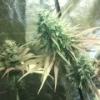 Stress, insomnie, cherche herbe à vaporiser ? - dernier message par caragouille