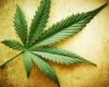 KnabisWeed